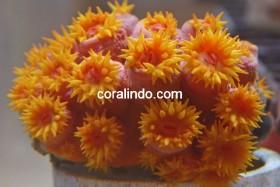 Special Coral